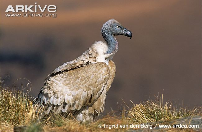 Cape vulture Cape vulture videos photos and facts Gyps coprotheres ARKive