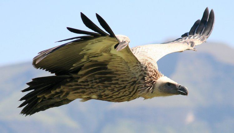 Cape vulture Cape Vulture