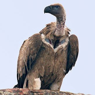 Cape vulture wwwbiodiversityexplorerorgbirdsaccipitridaeim