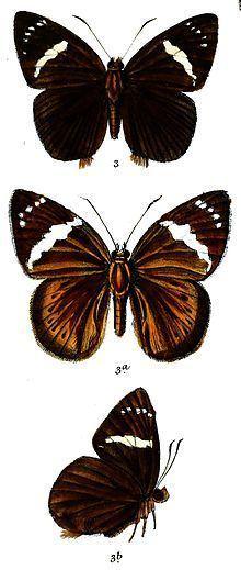 Capila penicillatum httpsuploadwikimediaorgwikipediacommonsthu