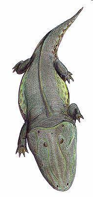 Capitosauria httpsuploadwikimediaorgwikipediacommonsthu