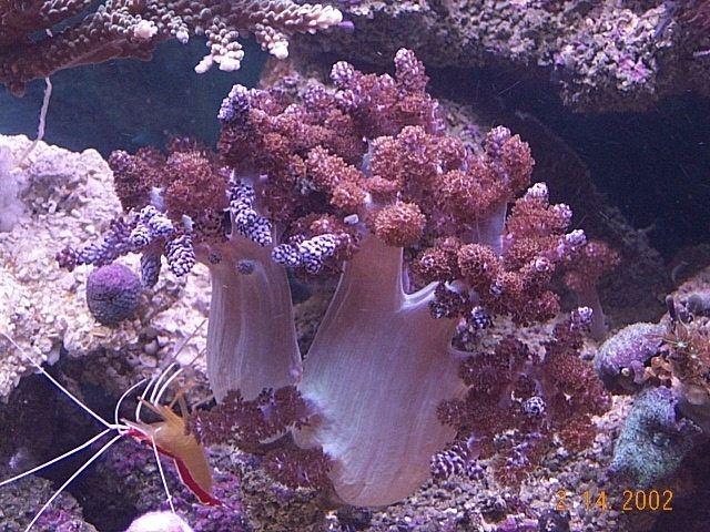 Capnella Scott39s Soft Corals