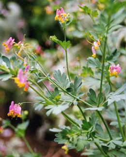 Capnoides Corydalis sempervirens Buy Online at Annie39s Annuals