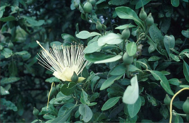 Capparis arborea Brush caper berry Capparis arborea Department of Environment and
