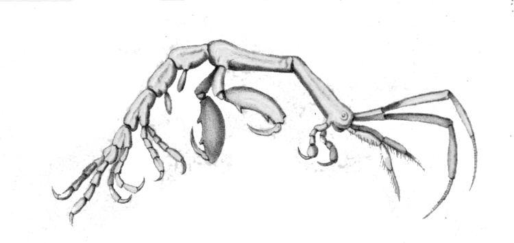 Caprella Caprella mendax Wikiwand
