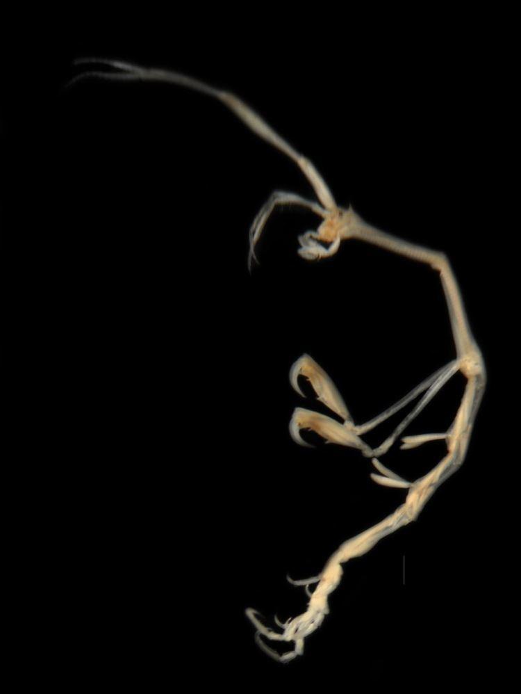 Caprella NEMESIS Database Species Summary