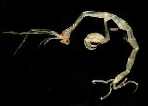 Caprellidae Let39s do Some Zoology Skeleton Shrimp Family Caprellidae Also