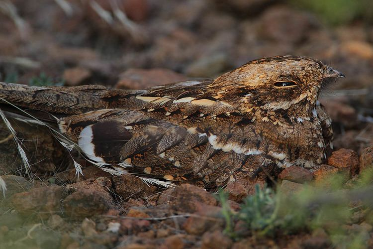 Caprimulgus Birds of the genus Caprimulgus Hotspot Birding