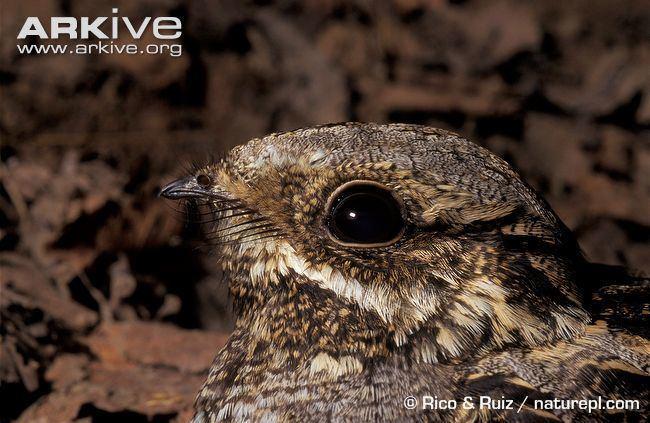 Caprimulgus Nightjar photo Caprimulgus europaeus A4559 ARKive