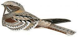 Caprimulgus Philippine Nightjar Caprimulgus manillensis HBW Alive