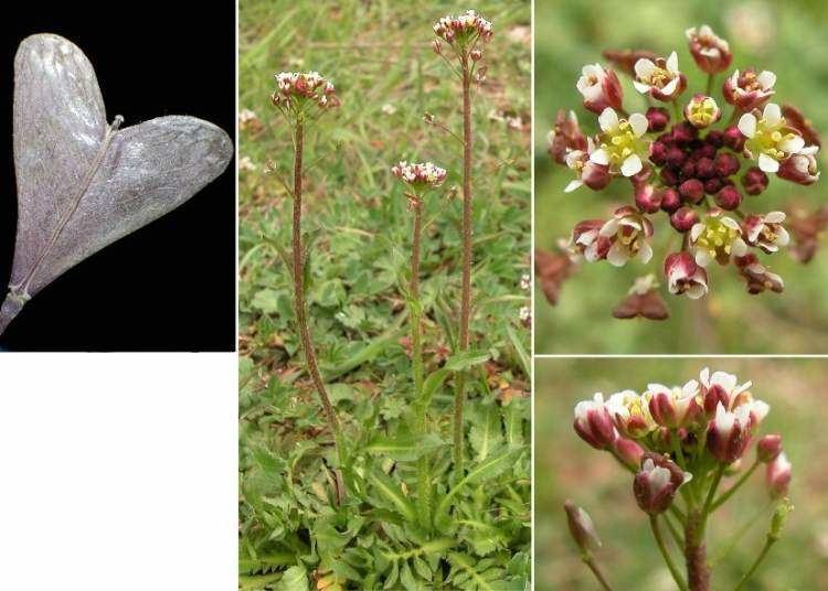 Capsella rubella Capsella rubella Borsapastore rossiccia