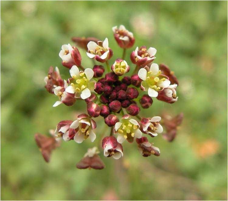 Capsella rubella Capsella rubella Specie della flora italiana