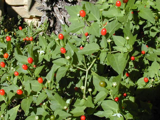 Capsicum annuum var. glabriusculum Capsicum annuum var glabriusculum Chile pequin NPIN