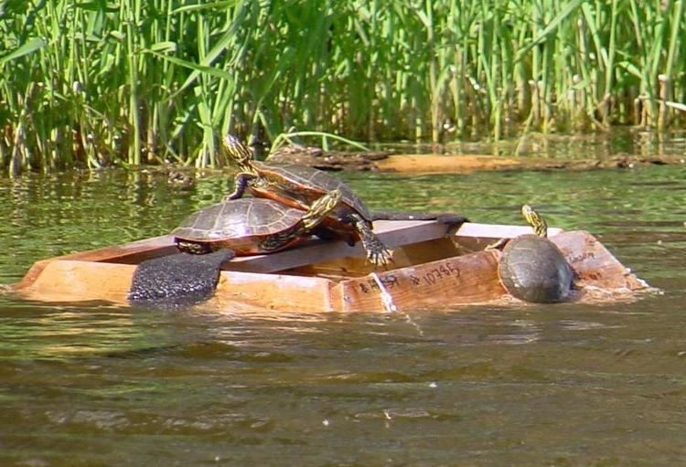 Capture of painted turtles