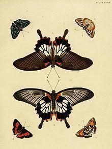 Capys (butterfly) httpsuploadwikimediaorgwikipediacommonsthu