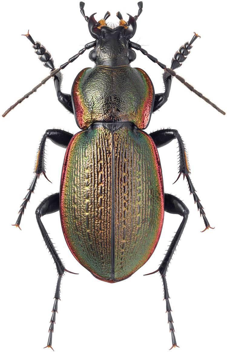 Carabus Subgenus Carabus sensu stricto Carabidae