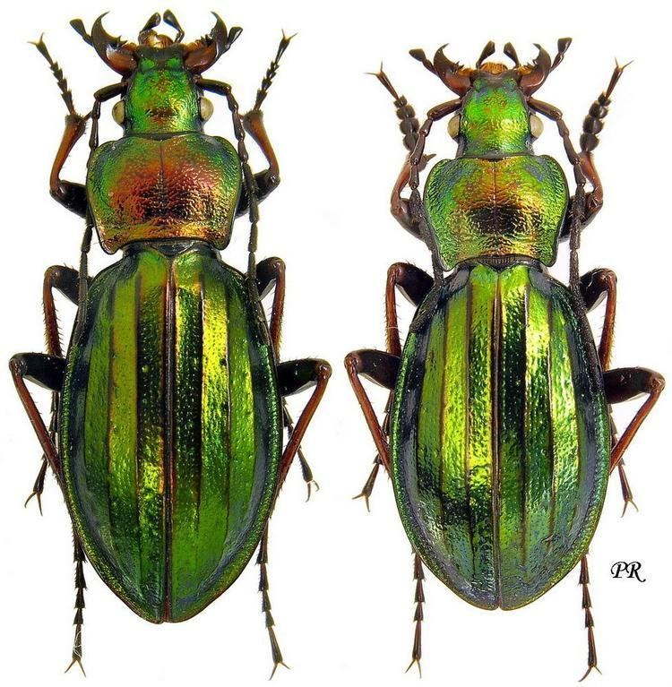 Carabus auronitens Carabus Chrysocarabus auronitens Fabricius 1792 Carabidae