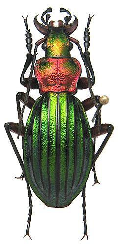 Carabus auronitens carabidaeorgcarabidaeCarabus20Chrysocarabus20