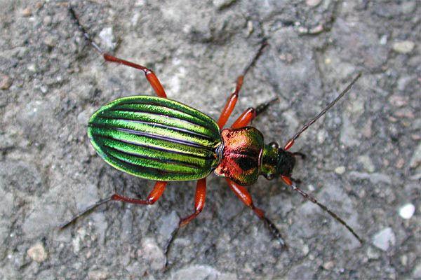 Carabus auronitens Carabus auronitens Golden ground beetle Chrysocarabus auronitens