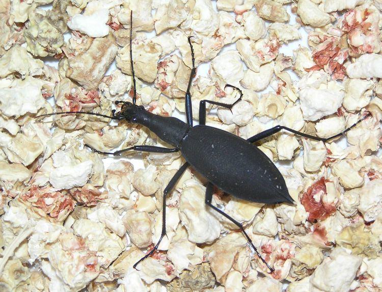 Carabus blaptoides Image Carabus blaptoides blaptoides BioLibcz