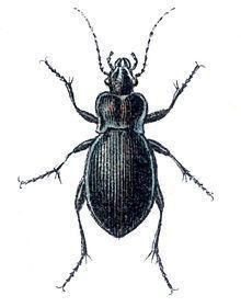 Carabus convexus httpsuploadwikimediaorgwikipediacommonsthu