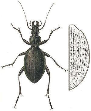 Carabus creutzeri httpsuploadwikimediaorgwikipediacommonsthu