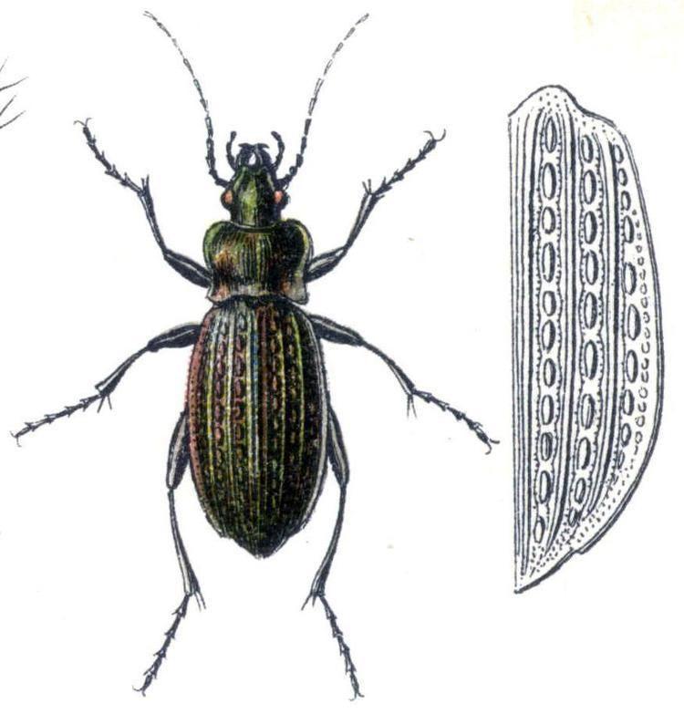 Carabus granulatus Carabus granulatus Wikipdia