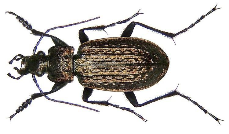 Carabus granulatus Carabus granulatus