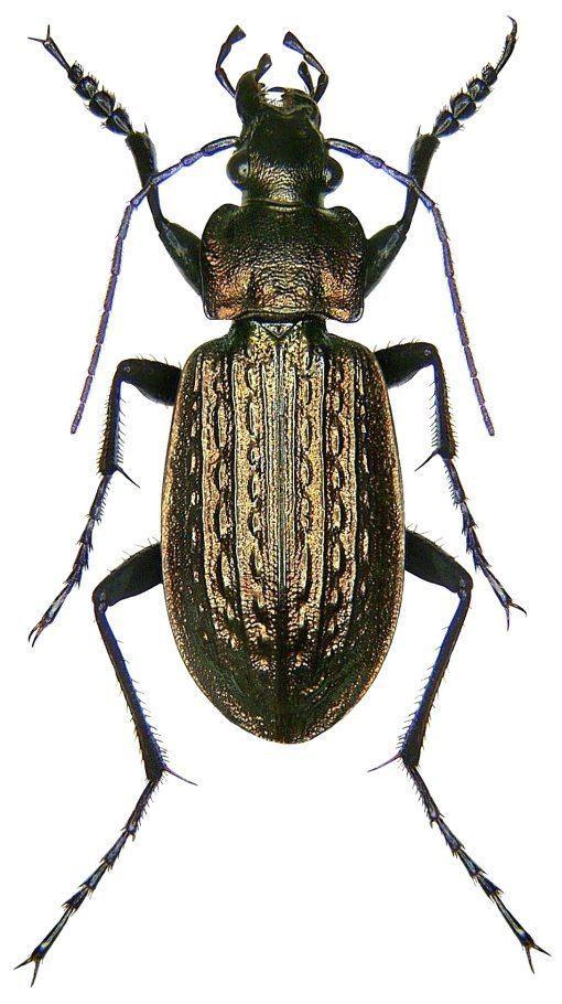 Carabus granulatus Carabus Carabus granulatus granulatus Linne 1758 Carabidae