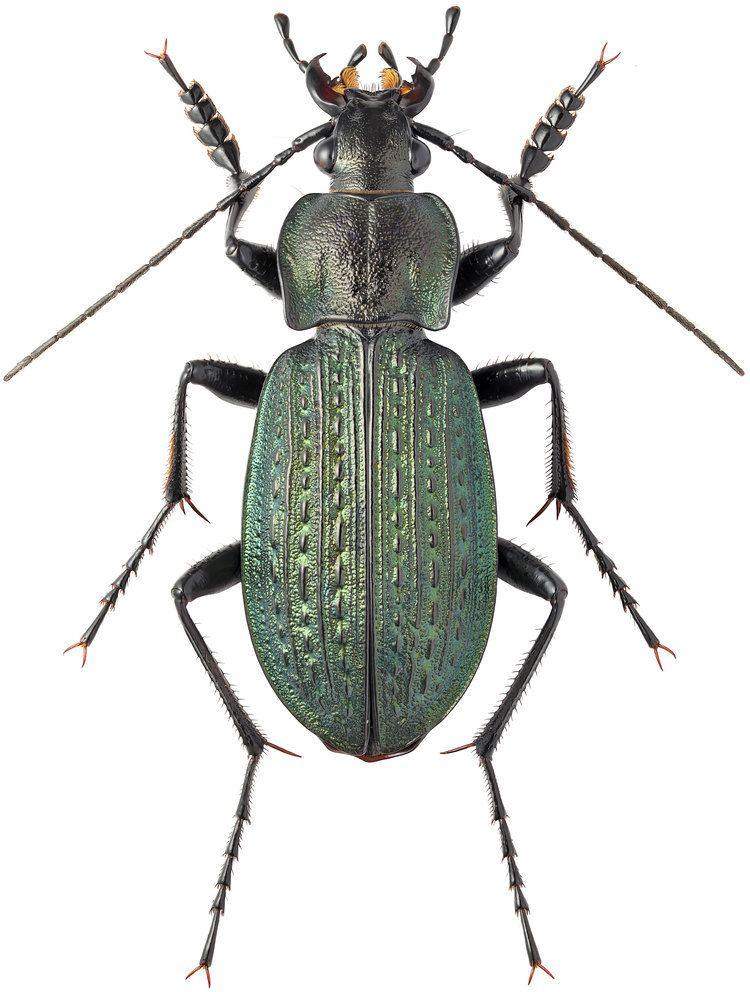 Carabus granulatus Carabus Carabus granulatus Linne 1758 Carabidae