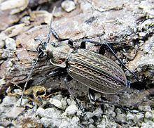 Carabus granulatus httpsuploadwikimediaorgwikipediacommonsthu