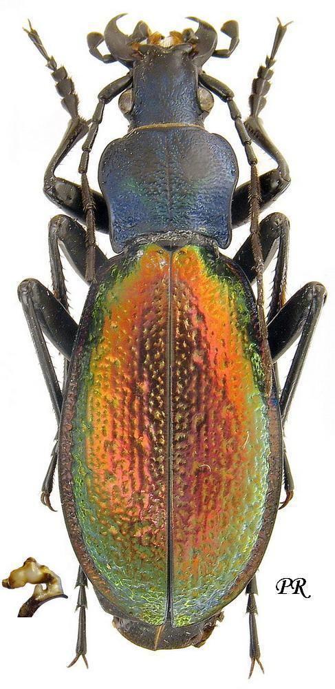 Carabus hispanus Carabus Chrysocarabus hispanus Fabricius 1787 Carabidae
