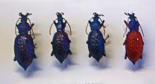 Carabus lafossei httpsuploadwikimediaorgwikipediacommonsthu