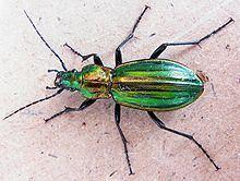 Carabus lineatus httpsuploadwikimediaorgwikipediacommonsthu