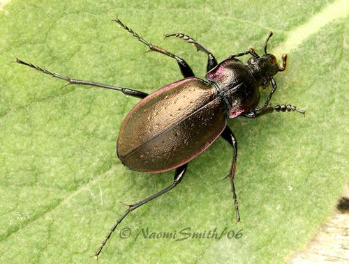 Carabus nemoralis Copper and Purple Beetle Carabus nemoralis BugGuideNet