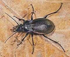 Carabus nemoralis httpsuploadwikimediaorgwikipediacommonsthu