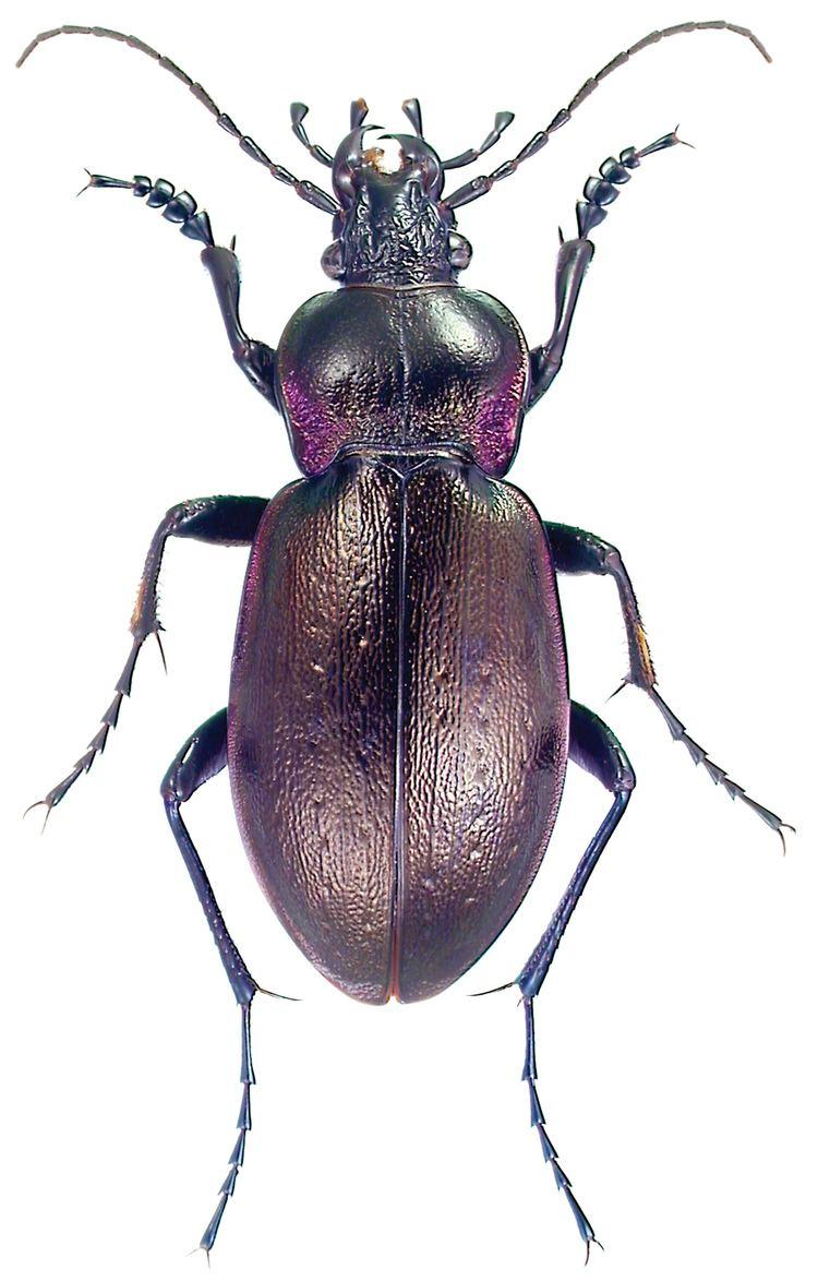 Carabus nemoralis FileCarabus nemoralis Mller ZooKeys245001g010jpeg