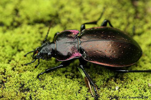 Carabus nemoralis Carabus nemoralis Purplerimmed carabus Carabus nemoralis Flickr