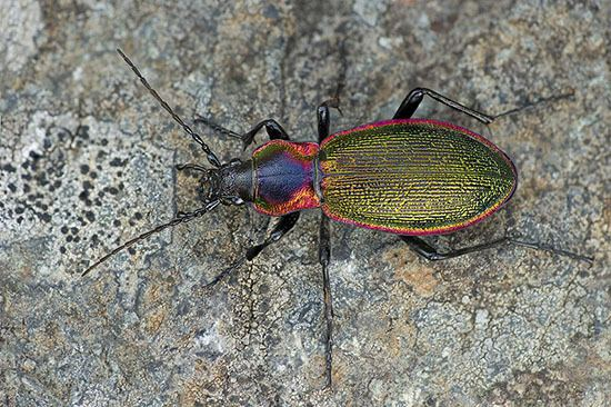 Carabus olympiae Carabus olympiae a splendid Chrysocarabus discovered by the little