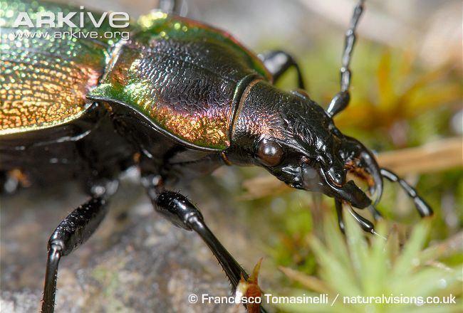 Carabus olympiae Carabid beetle photo Carabus olympiae G39038 ARKive