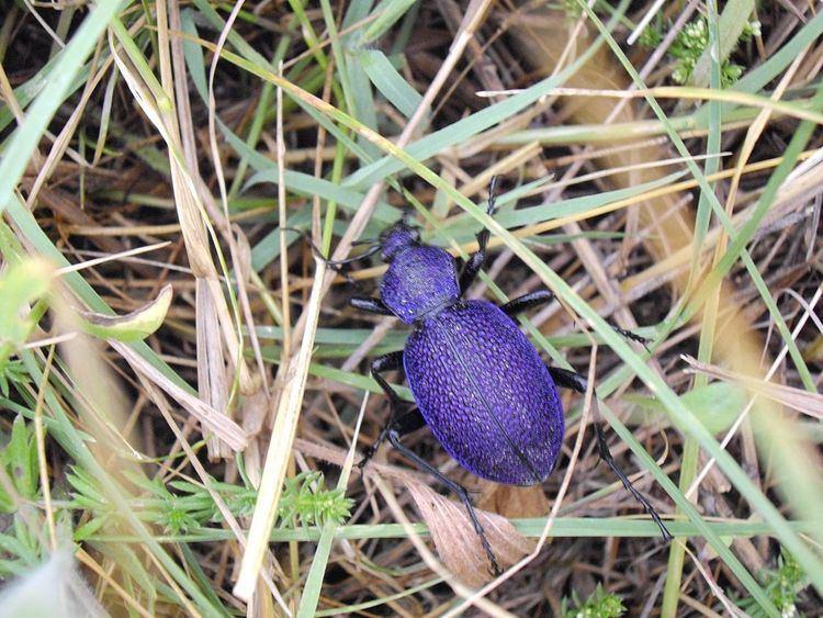 Carabus scabrosus tauricus Carabus scabrosus tauricus Wikipedia