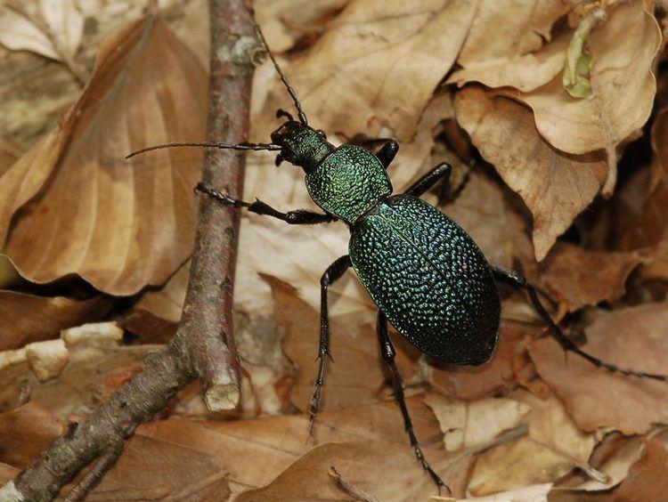 Carabus scabrosus tauricus macroclubrugallerydata5082krzhuzh8795jpg