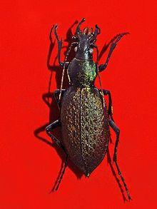 Carabus smaragdinus httpsuploadwikimediaorgwikipediacommonsthu