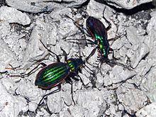 Carabus solieri httpsuploadwikimediaorgwikipediacommonsthu