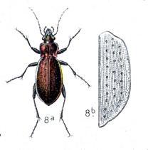 Carabus sylvestris httpsuploadwikimediaorgwikipediacommons22