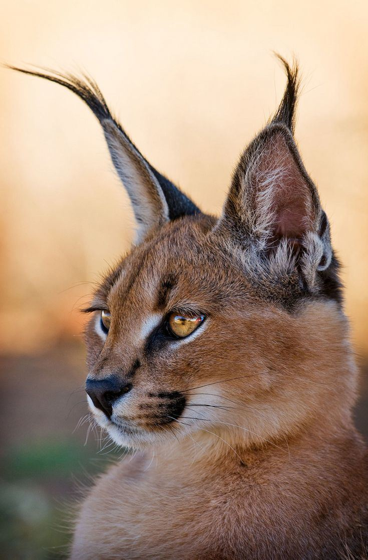 Caracal 1000 ideas about Caracal on Pinterest Big cat rescue Snow