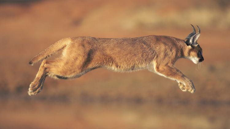 Caracal Caracal Animal Profile
