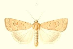 Caradrina flava