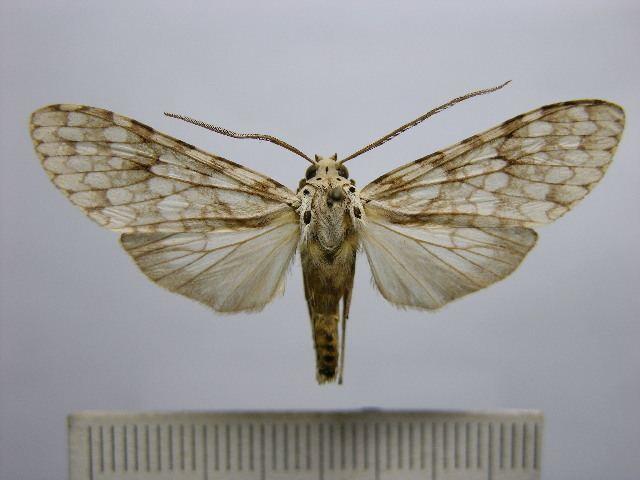 Carales arizonensis