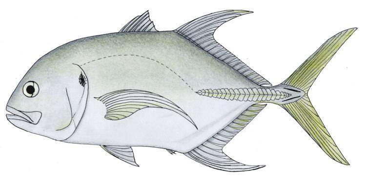 Caranx Longfin crevalle jack Wikipedia